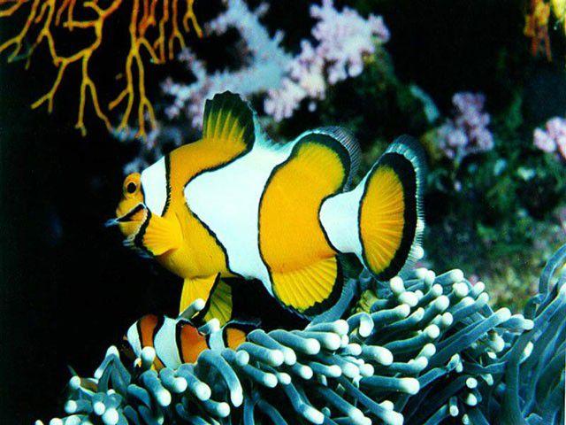 Vorschau Free Marine Fish Screensaver - Bild 1